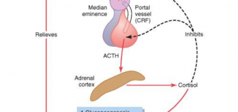 ACTH e cortisolo